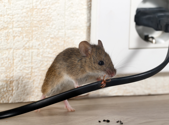 How to Prevent Rats and Mice in Your Home – City Pest Control